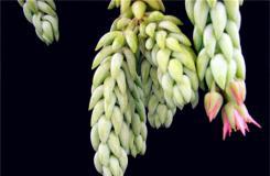 多肉植物翡翠景天的養殖方法及繁殖方法