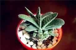 多肉植物子寶的養殖方法及繁殖方法