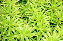 多肉植物佛甲草的養殖方法及繁殖方法