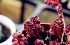 多肉植物小球玫瑰的養殖方法及繁殖方法