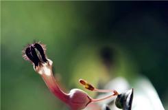 多肉植物爱之蔓的养殖方法及繁殖方法