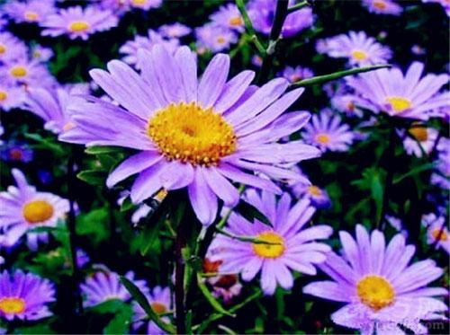 10月12日生日花紫苑