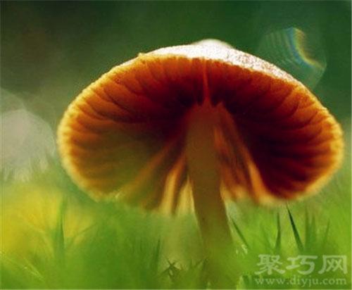 10月9日生日花蘑菇