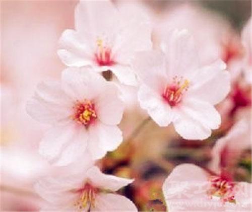 11月2日生日花冬櫻花