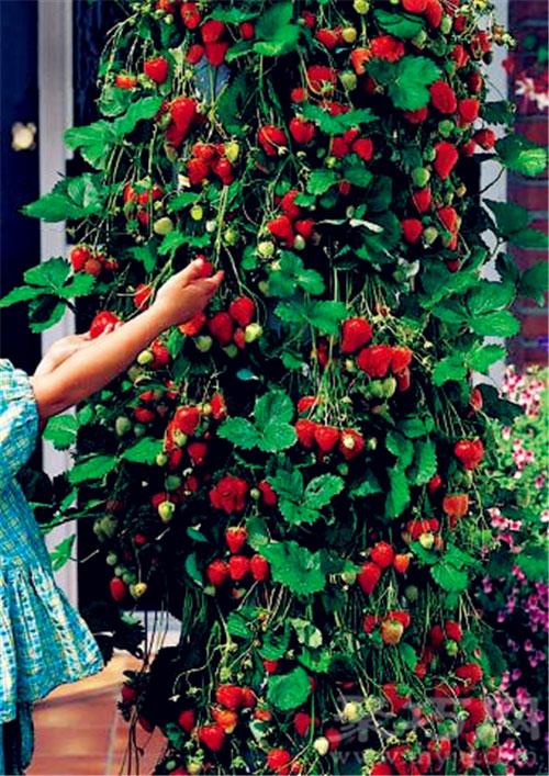 11月4日生日花草莓樹