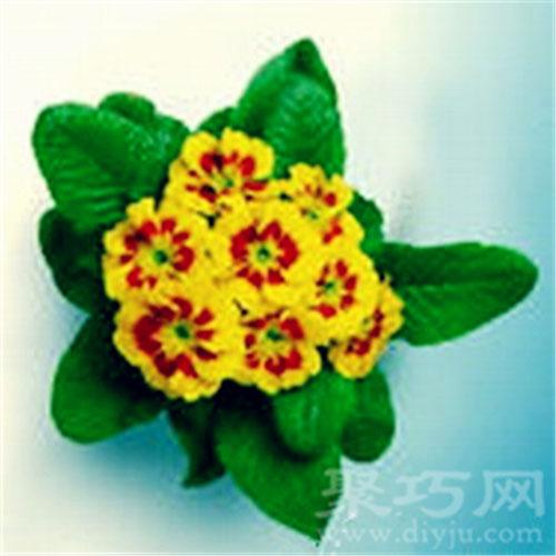 2月13日生日花西洋櫻草
