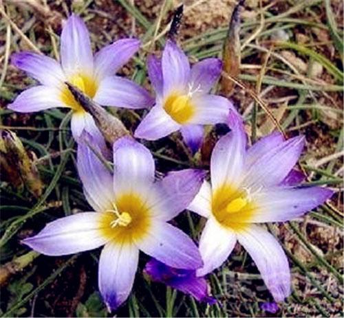 3月12日生日花沙洲蕃紅花