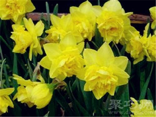 3月8日生日花野生黃水仙