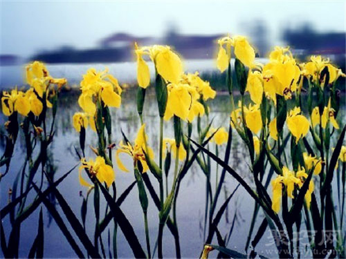 6月10日生日花黃色鳶尾
