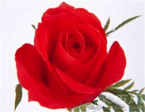 6月5日生日花犬玫瑰