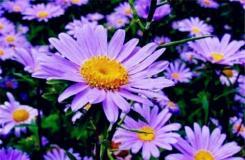 10月12日生日花:紫苑 紫苑花語