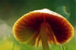 10月9日生日花:蘑菇 蘑菇花語