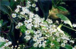 11月14日生日花:葡萄牙月桂樹 葡萄牙月桂樹花語