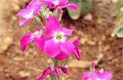 11月15日生日花:冬紫罗兰 冬紫罗兰花语
