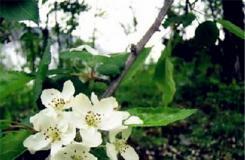 11月17日生日花:蘋果花 蘋果花花語