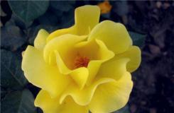 11月27日生日花:百慕達奶油花 百慕達奶油花花語
