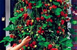 11月4日生日花:草莓樹 草莓樹花語