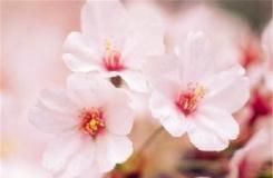 11月5日生日花:冬櫻花 冬櫻花花語