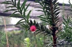 11月6日生日花:紫杉 紫杉花語
