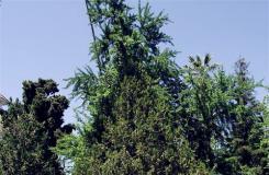12月23日生日花:印度杉 印度杉花语