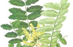 12月24日生日花:乳香木 乳香木花语