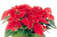 12月25日生日花:圣誕紅 圣誕紅花語