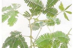 12月7日生日花:含羞草 含羞草花语