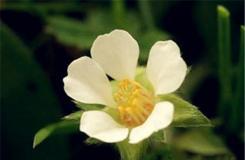 1月14日生日花:無子草莓 無子草莓花語
