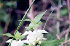 1月19日生日花:白色野蕁麻花 白色野蕁麻花花語