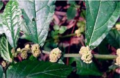 1月20日生日花:野蕁麻花 野蕁麻花花語