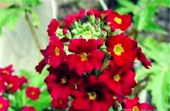 2月11日生日花:紅櫻草 紅櫻草花語
