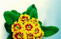 2月13日生日花:西洋樱草 西洋樱草花语