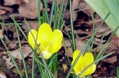 2月15日生日花:黃番紅花 黃番紅花花語