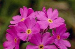 2月16日生日花:西洋獐耳 西洋獐耳花語