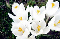 2月21日生日花:白番紅花 白番紅花花語