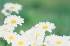 2月22日生日花:雛菊 雛菊花語