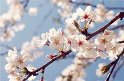 2月23日生日花:杏樹 杏樹花語