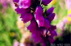 3月11日生日花:康沃爾石南 康沃爾石南花語