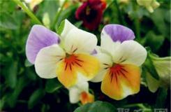 3月13日生日花:野生三色菫 野生三色菫花语