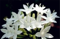 3月16日生日花:纯白水仙 纯白水仙花语