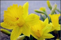 3月27日生日花:黃水仙 黃水仙花語