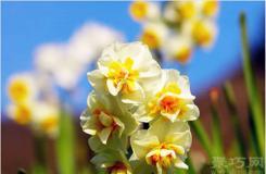3月31日生日花:小型水仙 小型水仙花語