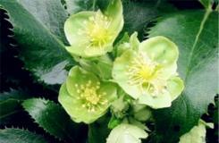 3月5日生日花:綠菟葵 綠菟葵花語
