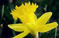 3月9日生日花:喇叭水仙 喇叭水仙花語