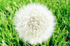 4月11日生日花:蒲公英 蒲公英花語