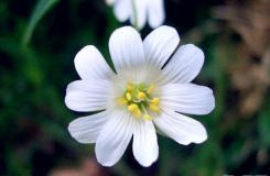 4月15日生日花:繁縷花 繁縷花花語