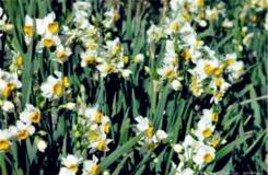4月18日生日花:白色野生水仙 白色野生水仙花�Z