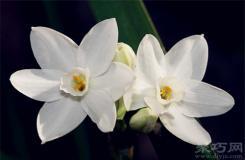 4月21日生日花:雪白水仙 雪白水仙花語