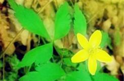 4月22日生日花:袋草 袋草花語
