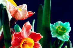 4月27日生日花:紅邊水仙 紅邊水仙花語